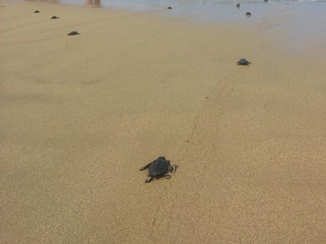 turtles at lara bay